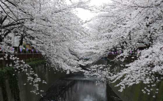 Сакура, japanese, лепестки, water, свой, park, совершенно,