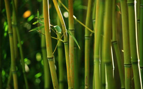 бамбук, стебли, природа, зелёный, jungle, лес, высокого,