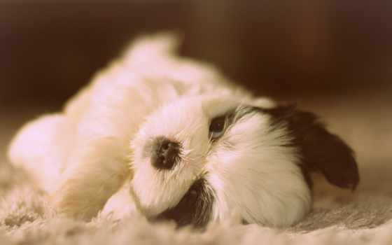 shih, tzu, щенок, cute, desktop, puppies, собака,