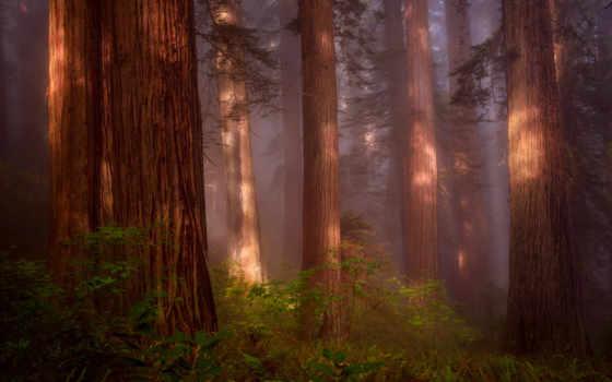 сша, лес, природа, секвойя, северная, дымка, grove, redwood,