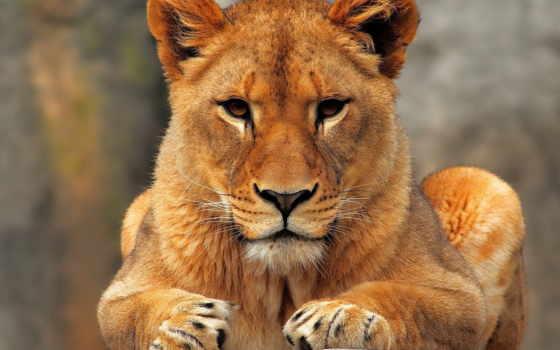 lion, молодой, сидит, разных, хищник, разрешениях,
