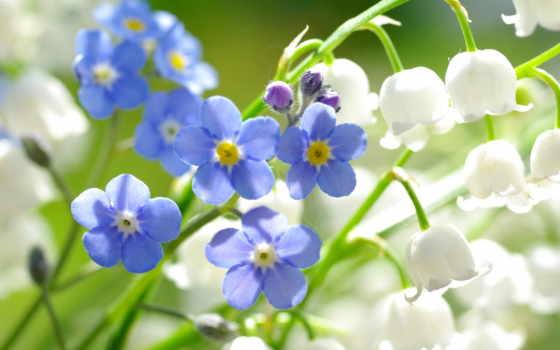 cvety, незабудки, ландыши, красивые, макро, природа, планом, крупным,