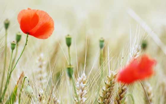 summer, аромат, cvety, poppy