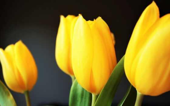 цветы, yellow, бутон, тюльпан, free, knowledge, ответить, май, розовый