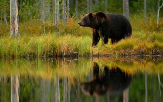 медведь, браун, трава, art, пруд, отражение, print
