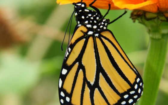 butterfly, caterpillar, monarch, chrysalis, egg, stock, life,