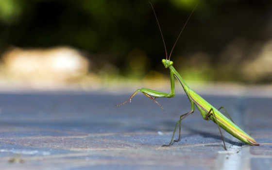 mantis, животные, насекомые, голову,