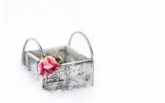 роза, single, цветы
