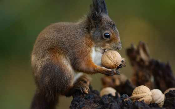 белки, орешки, грызет
