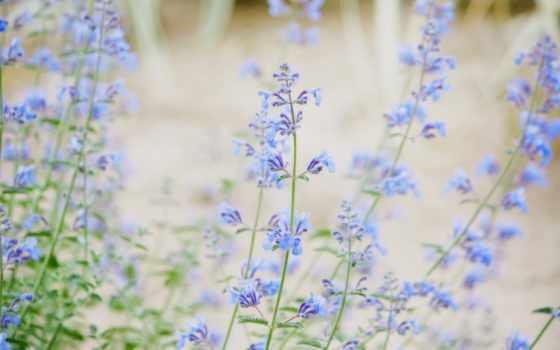 цветы, нежные, голубые, природа,