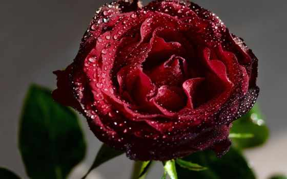 waters, цветы, роза