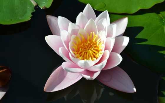 цветы, крымский, дарят, никитский, lotus, нам, garden,