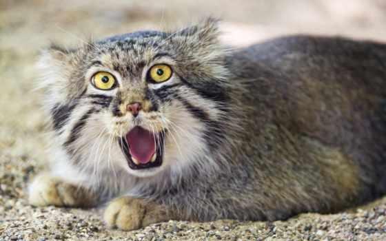кот, палласов, cats, pinterest, манул, you, об,