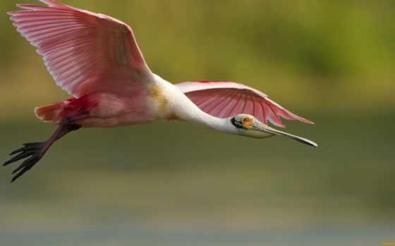 розовый, птица, feathers, фламинго, birds, flying, animals,