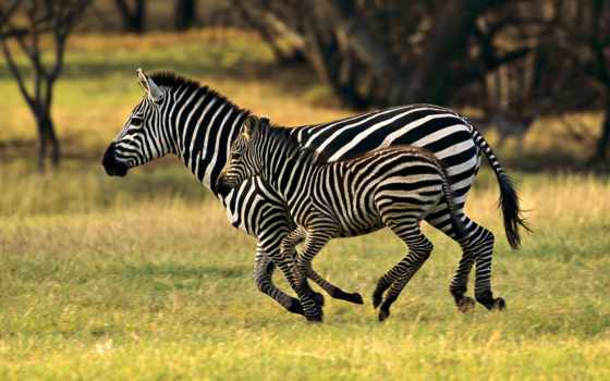 животных, животные, зебры