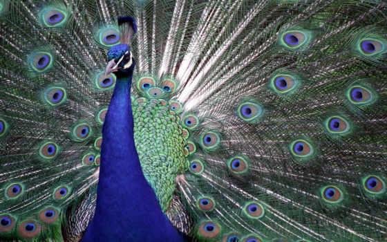 павлин, птица, abstrakciya, хвост, городов,