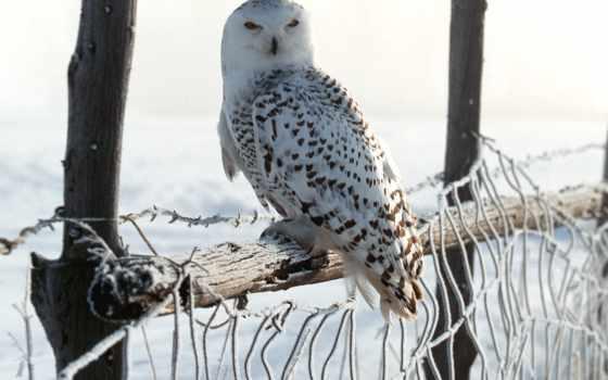сова, белая, птицы, полярная,