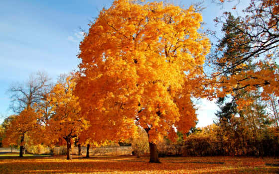 осень, красивые, золотая, trees, природа, самые, дерево,