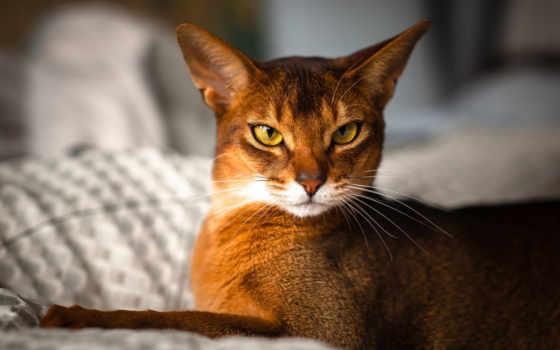 кот, абиссинская, wild, кошек, окрас, кошки, абиссинских, faun, abyssinian, породы,