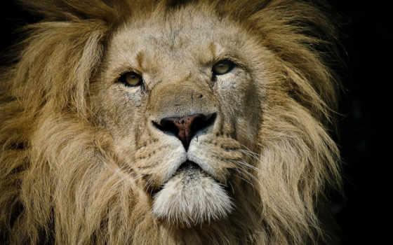 lion, восток, african