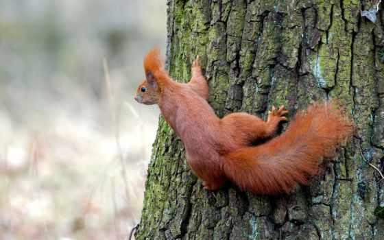 рыжая, дерево, белки