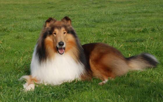 собака, колли, трава