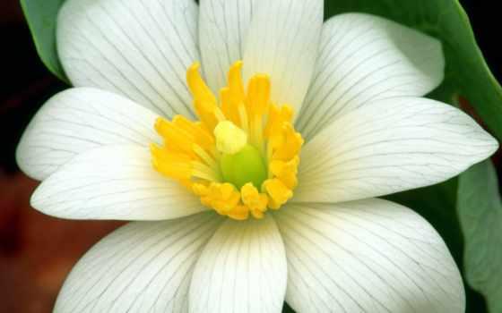 цветы, цветов, белые