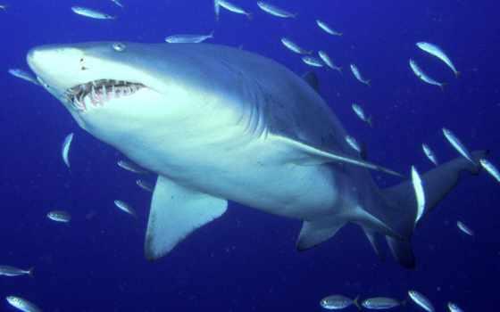 акула, тигровая, разрешений, высоком, акулы,