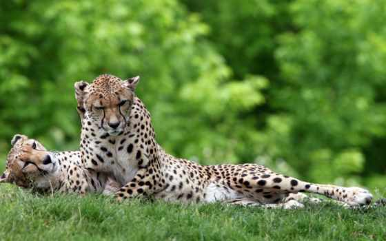 природа, кошки, трава, качестве, хищники, zhivotnye, lion, заставки, дикие, гепард,