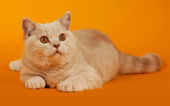 кот, red, взгляд, лежит, оранжевый, кошки, высоком, качестве,