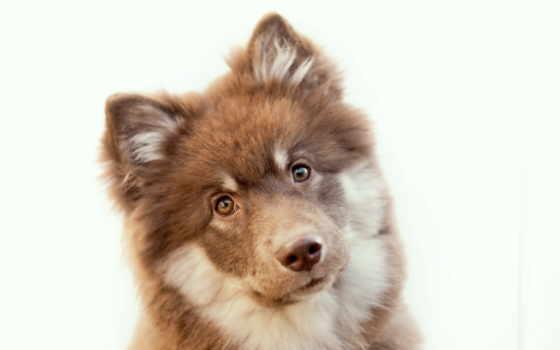 , zhivotnye, собака, щенок, мордашка