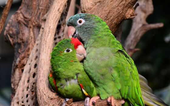 could, animal, попугай, фото, сможет, есть, стать, simple, разведение, разница