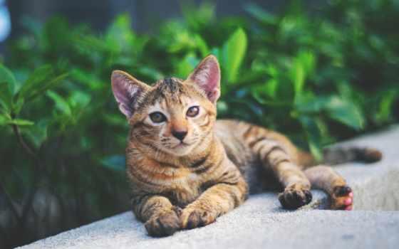 ,кот,тигровый,лежит,котик,piace,