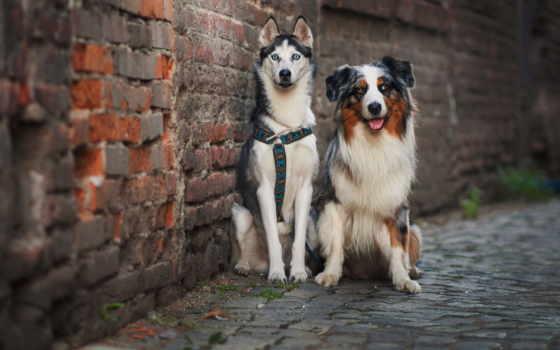 собаки, хаски, овчарка, страница, australian, бесплатные, zhivotnye, стены, кирпичной,