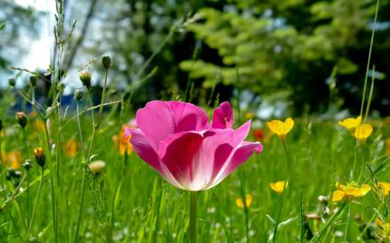 весна, cvety, тюльпан, цветы, природа, телефоны, весенние, красивые, розовый, цветение,