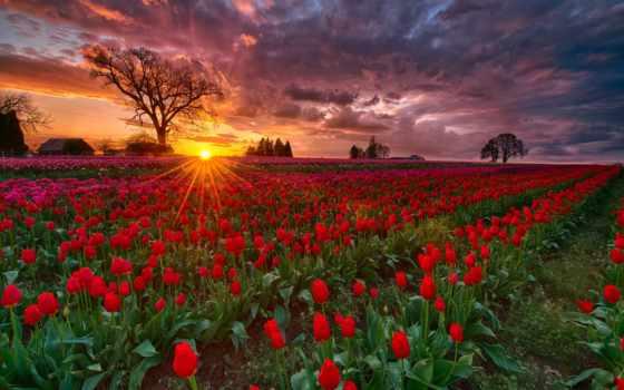 закат, тюльпан, tulips, восход, поле, поля, pinterest, oregon, skagit, wooden, shoe,