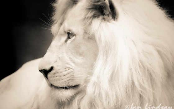 lion, white, морда