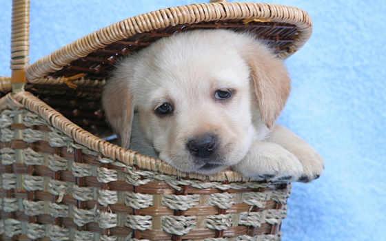 labrador, собака, взгляд Фон № 58368 разрешение 2560x1600
