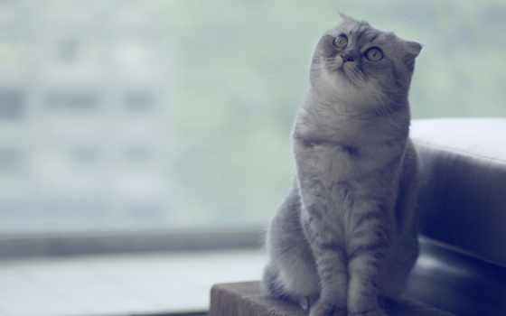 шотландская, вислоухая, кот, фолд, скоттиш, разрешениях, лежит,