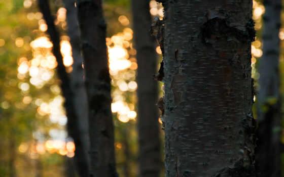 свет, фоны, картинка, категории, кора, trees, скачиваем, листва, лес,