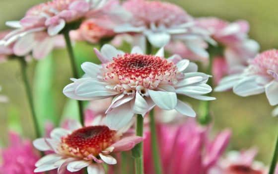 герберы, цветы, лепестки