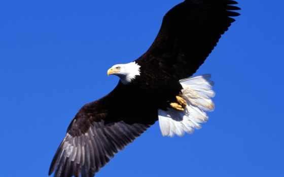 орлан, flying, desktop
