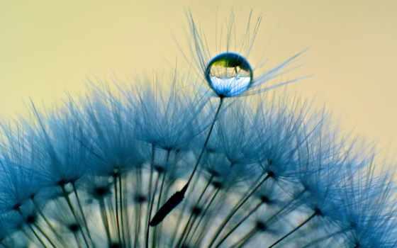 одуванчик, макро, роса, water, drop, капли, blue,
