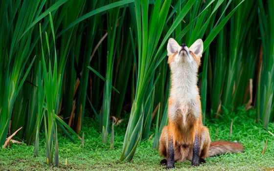 фокс, красивые, zhivotnye, обойный, микс, трава, лисы,