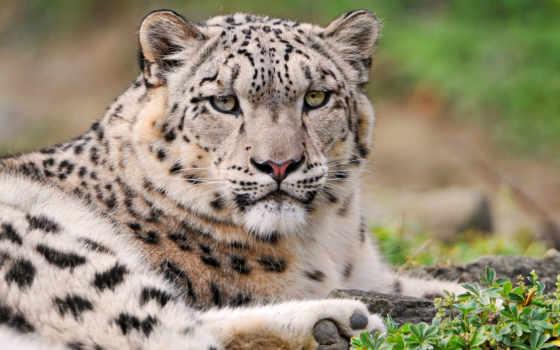 снег, леопард, las, leopardo, nieves, zhivotnye, animal,