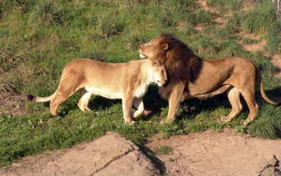 обои, львы, животные, фото, влюбленные, кошки, льв