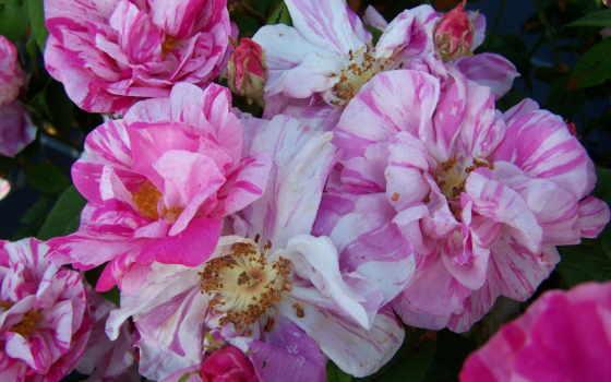 розы, цветы, дамасская