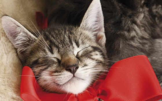 кот, бантом, спать