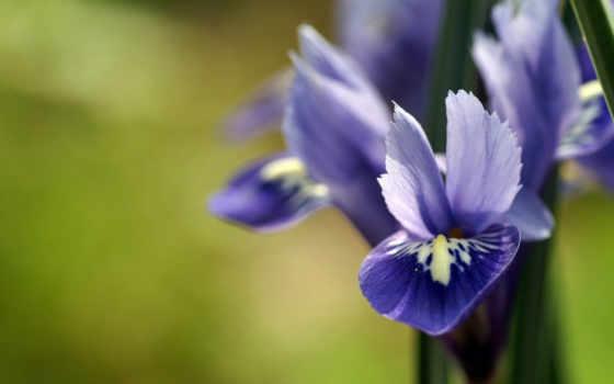 весна, красивые, cvety, king, оригинал, arturik,