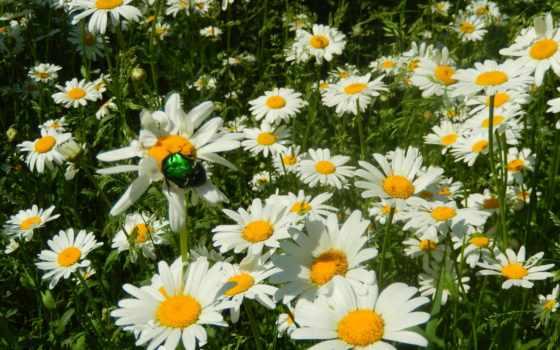 cvety, широкоформатные, petals, ромашка, трава,